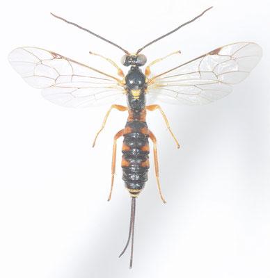 Acropimpla leucostoma (Cameron, 1907)  キマダラフシオナガヒメバチ ♀ [det. Kyohei WATANABE]