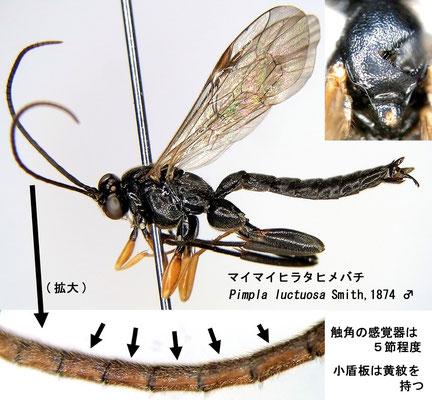 Pimpla luctuosa Smith, 1874 マイマイヒラタヒメバチ [det. Kyohei WATANABE]