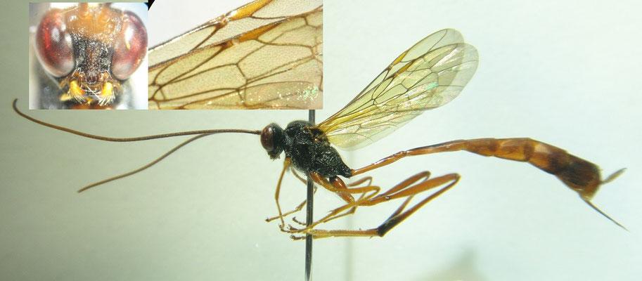 Heteropelma amictum (Fabricius, 1775) カラフトコンボウアメバチ [det. So SHIMIZU]