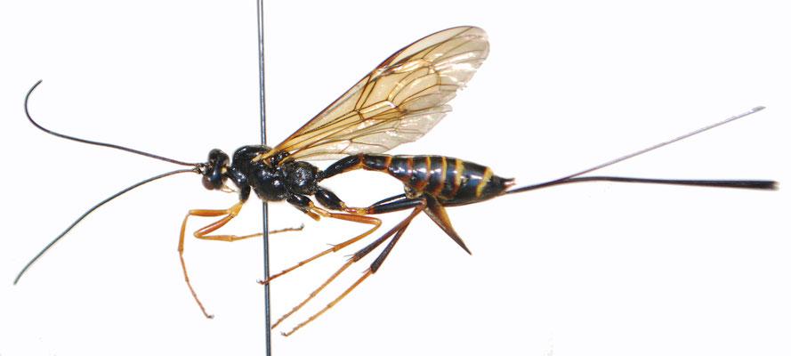 Coleocentrus incertus (Ashmead, 1906) コンボウケンヒメバチ ♀ [Det. Masato ITO]