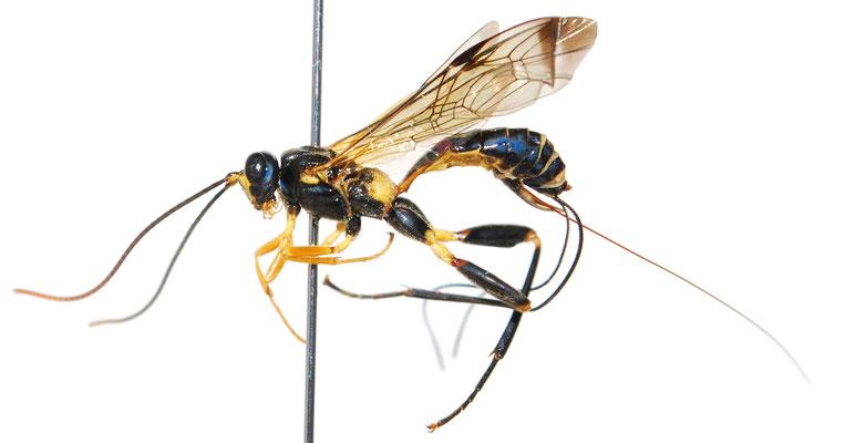 Spilopteron mucronatus Lee, 2008 ♀ [Det. Masato ITO]