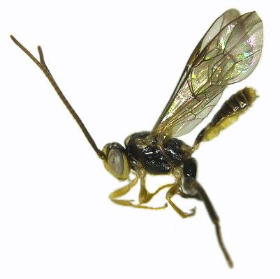 Yezoceryx rishiriensis (Uchida, 1934) リシリケンヒメバチ ♂ [Det. Masato ITO]