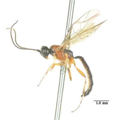 Heterischnus ipse (Uchida, 1956) ムネアカチビヒメバチ [det. So SHIMIZU]