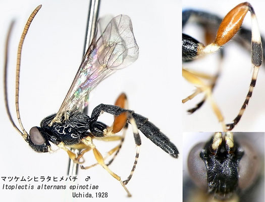 Itoplectis alternans epinotiae Uchida, 1928 マツケムシヒラタヒメバチ [det. Kyohei WATANABE]