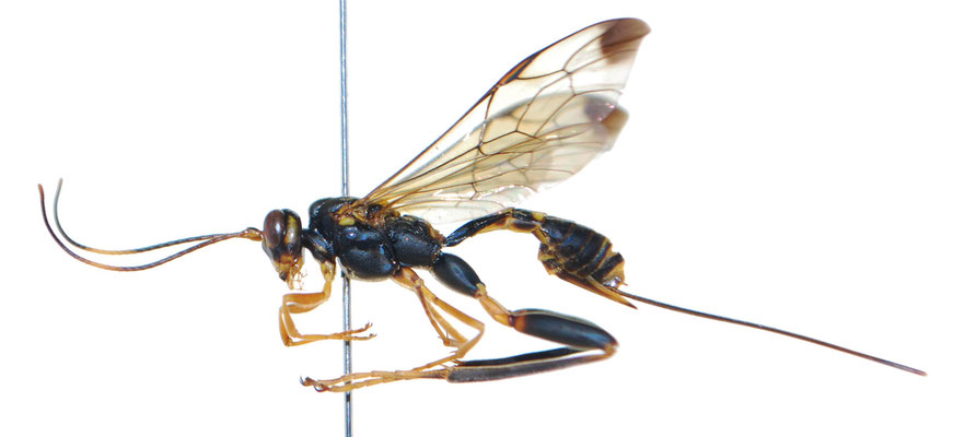 Spilopteron apicalis (Matsumura, 1912) ツマグロケンヒメバチ♀ [Det. Masato ITO]