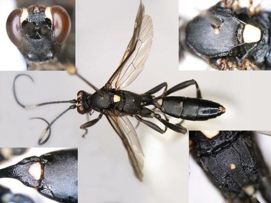 Achaius oratorius albizonellus (Matsumura, 1912) シロスジヒメバチ ♀ [Det. Kyohei WATANABE]