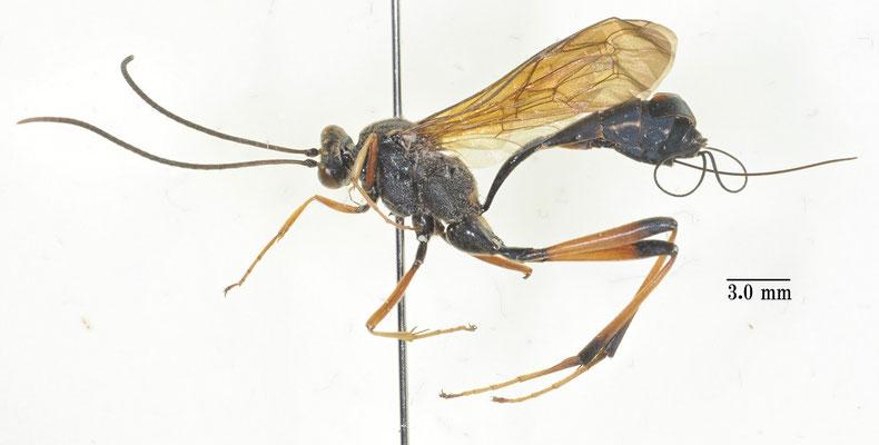 Acroricnus ambulator ambulator (Smith, 1874) キアシオナガトガリヒメバチ [det. So SHIMIZU]