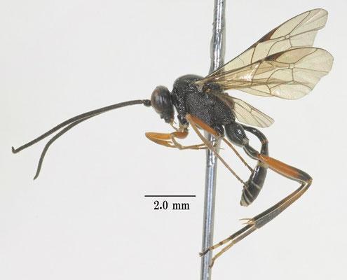 Myrmeleonostenus babai Uchida, 1936 アリジゴクヤドリトガリヒメバチ [det. So SHIMIZU]