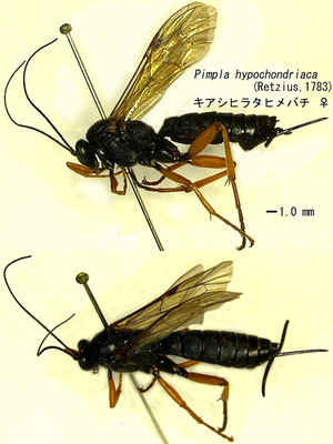 Pimpla rufipes (Miller, 1759) キアシヒラタヒメバチ ♀ [det. Kyohei WATANABE]
