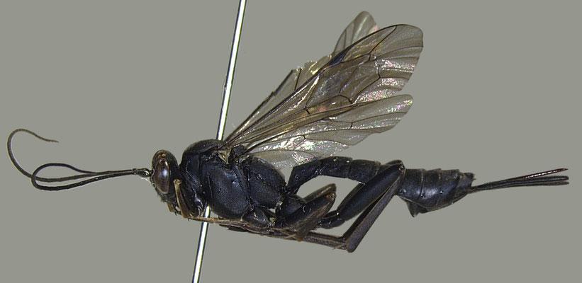 Pimpla aethiops Curtis, 1828 イチモンジヒラタヒメバチ female [det. Masato ITO]