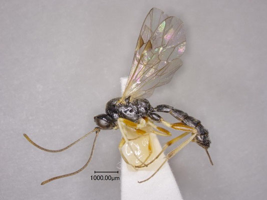Stilbops mandibularis Kasparyan, 1999 コブチビマルヒメバチ ♀ [det. Kyohei WATANABE]