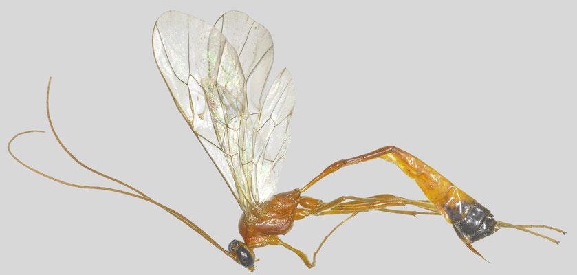 Enicospilus sauteri (Enderlein, 1921) ゾウテルホシアメバチ [det. So Shimizu, 2016]