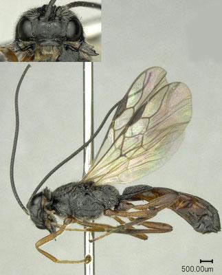 Polemochartus nipponensis Maeto, 1983 ヨシノメバエコマユバチ ♂ [det. Shunpei FUJIE]