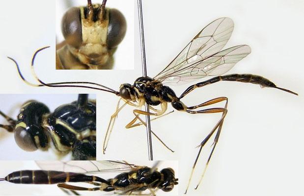 Nematopodius (Nematopodius) oblongs Momoi, 1967 マダラホソトガリヒメバチ [det. Kyohei WATANABE]