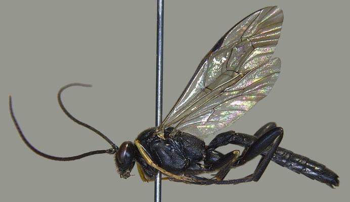 Pimpla aethiops Curtis, 1828 イチモンジヒラタヒメバチ male [det. Masato ITO]