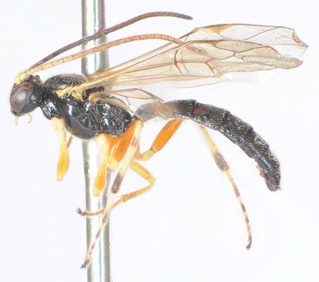 Gregopimpla kuwanae (Viereck, 1912) アカヒゲフヒメバチ ♂ [det. Kyohei WATANABE]シ
