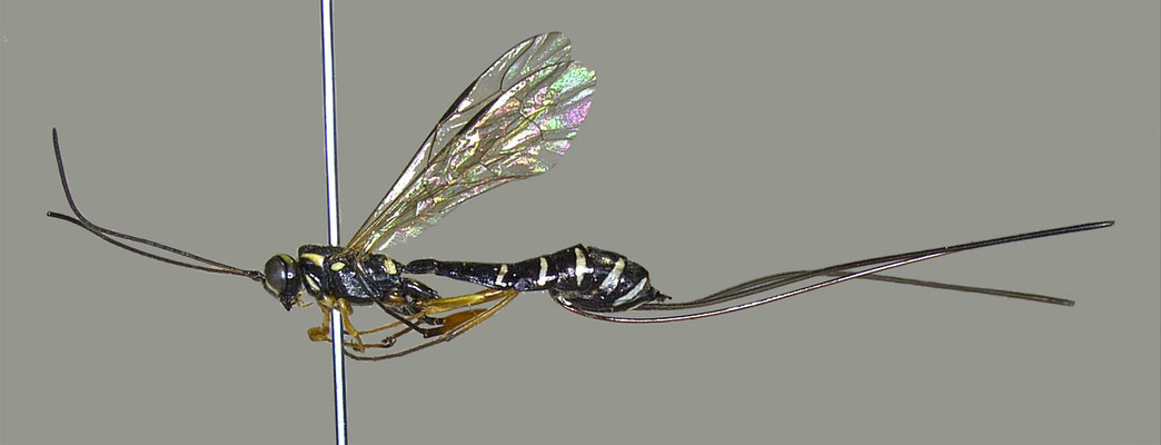 Epirhyssa sapporensis Uchida, 1928 サッポロオナガバチ [Det. Masato ITO]