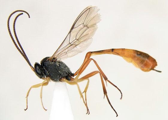 Charops bicolor (Szépligeti, 1906) ホウネンタワラチビアメバチ [det. Kyohei WATANABE]