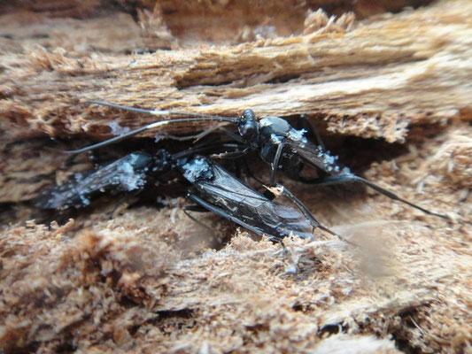 Zanthojoppa speciosa (Uchida, 1926)  クロヒゲナガヒョウモンヒメバチ 集団で越冬中(菅平高原) [det. So SHIMIZU]