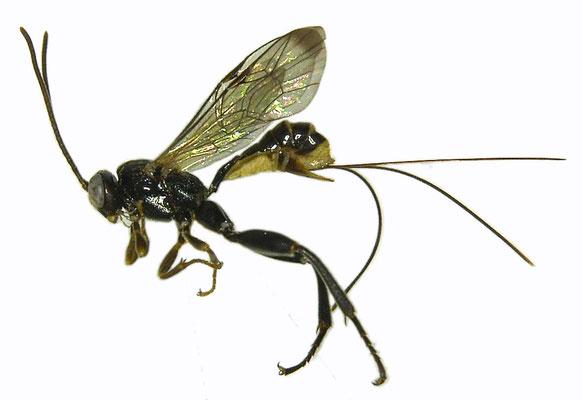 Yezoceryx rishiriensis (Uchida, 1934) リシリケンヒメバチ ♀ [Det. Masato ITO]