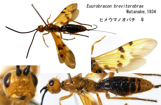 Euurobracon breviterebrae Watanabe, 1934 ヒメウマノオバチ ♀ [det. Kyohei WATANABE]