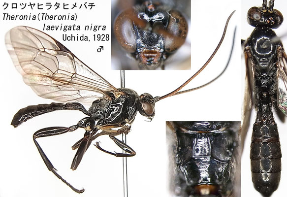 Theronia (Theronia) laevigata nigra Uchida, 1928 クロツヤヒラタヒメバチ [det. Kyohei WATANABE]