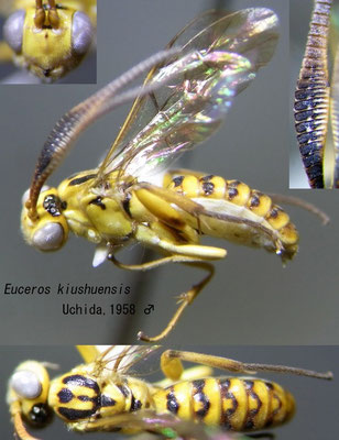 Euceros kiushuensis Uchida, 1958 [det. Kyohei WATANABE]