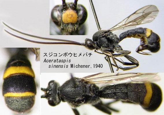 Acerataspis sinensis Michener, 1940 スジコンボウヒメバチ [det. Kyohei WATANABE]