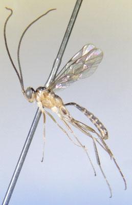 Baltazaria albomaculata Momoi, 1970 ♂ [det. So SHIMIZU]