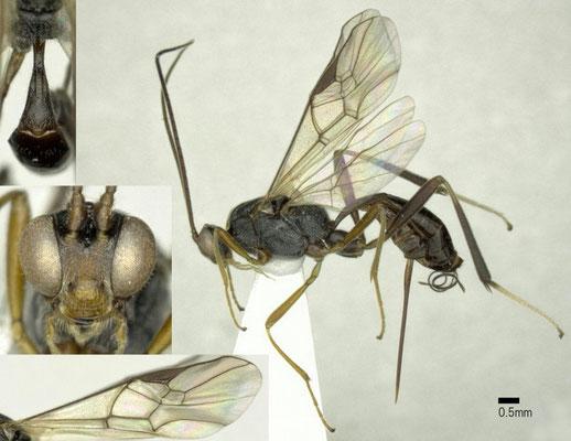 Zele niveitarsis (Cresson, 1872) オナガオオハラボソコマユバチ  ♀ [det. Shunpei FUJIE]