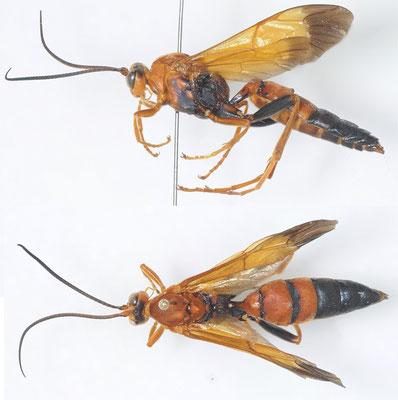 Quandrus pepsoides (Smith, 1852) クロハラヒメバチ [det. Kyohei WATANABE]