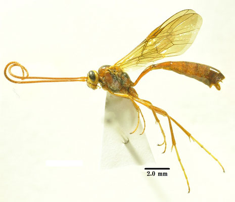 Ophion choaspese (Uchida, 1954) アオバセセリアメバチ [det. So SHIMIZU]