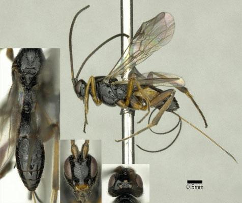 Orgilus longiceps Muesebeck, 1933 シンクイホソバネコマユバチ ♀ [det. Shunpei FUJIE]