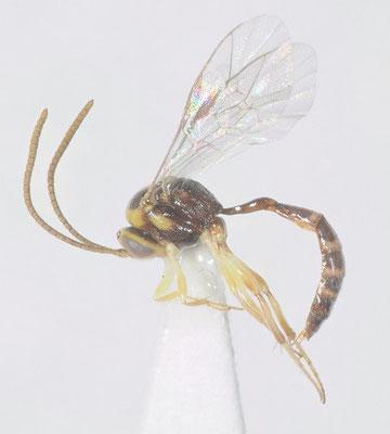 Brachycyrtus nawaii (Ashmead, 1906) ナワニジヒメバチ ♂ [det. Kyohei WATANABE]