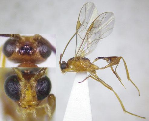 Meteorus versicolor (Wesmael, 1835) ドクガハラボソコマユバチ ♀ [det. Shunpei FUJIE]