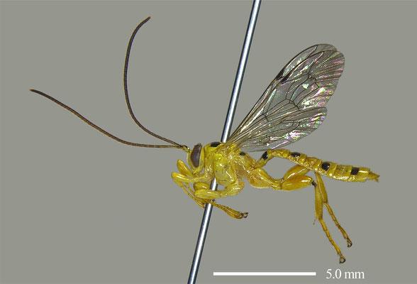 Xanthopimpla punctata (Fabricius, 1781) [det. Masato ITO]