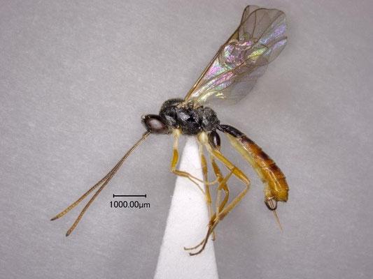 Stilbops kunashiricus Kasparyan, 1999  アジアチビマルヒメバチ ♀ [det. Kyohei WATANABE]