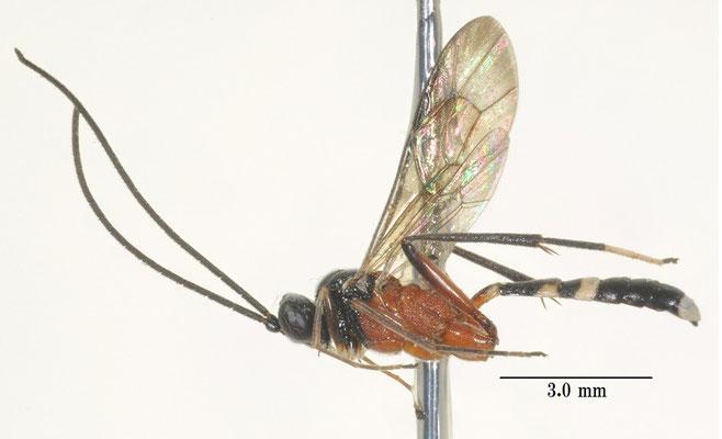 Goryphus basilaris Holmgren, 1868 ヨコジマトガリヒメバチ ♂ [det. So SHIMIZU]