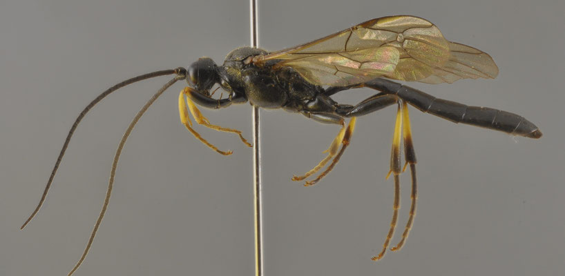 Alomya japonica Uchida, 1929 ヒロクチヒメバチ [det. So SHIMIZU, 2015]