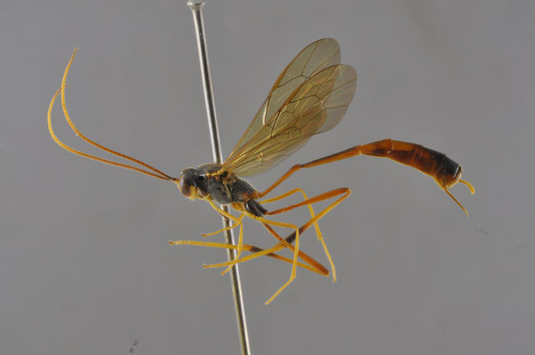Aphanistes jozankeanus (Matsumura, 1912) ジョウザンコンボウアメバチ [det. So SHIMIZU, 2016]