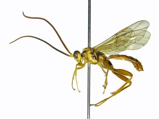 Yamatarotes bicolor Uchida, 1929 オスアカケンヒメバチ ♂ [Det. Masato ITO]