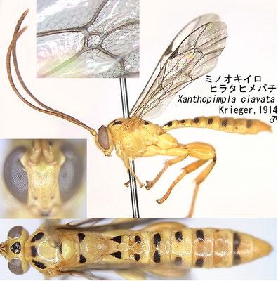 Xanthopimpla clavata Krieger, 1914 ミノオキイロヒラタヒメバチ [det. Kyohei WATANABE]