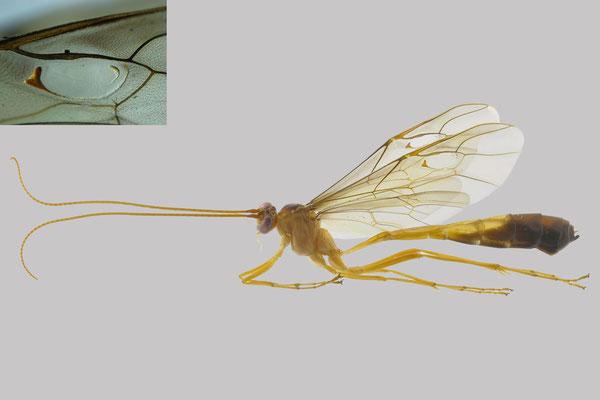 Enicospilus nigribasalis (Uchida, 1928) モトグロホシアメバチ [det. So SHIMIZU, 2016]