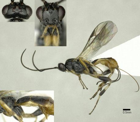 Lytopylus rufipes (Nees, 1812) タテスジコマユバチ ♀ [det. Shunpei FUJIE]