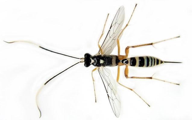 Ateleute minusculae (Uchida, 1955) チャミノガヤドリトガリヒメバチ ♀ [det. Kyohei WATANABE]