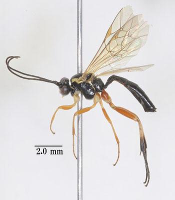 Woldstedtius flavolineatus flavolineatus (Gravenhorst, 1829) [det. So SHIMIZU]