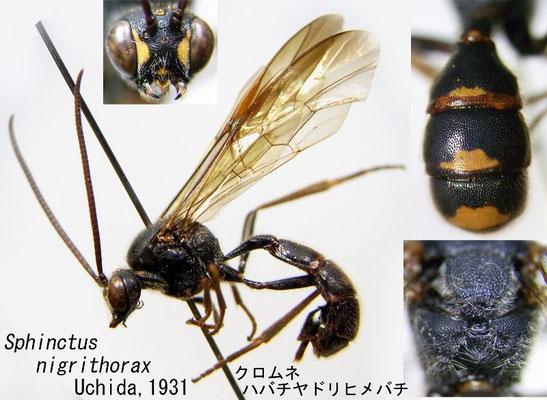 Sphinctus nigrithorax Uchida, 1931 クロムネマルヒメバチ [det. Kyohei WATANABE]