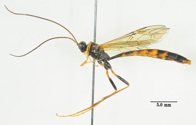 Coleocentrus incertus (Ashmead, 1906) コンボウケンヒメバチ ♂ [Det. So SHIMIZU]