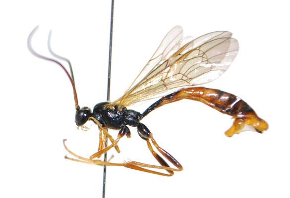 Coleocentrus incertus (Ashmead, 1906) コンボウケンヒメバチ ♂ [Det. Masato ITO]