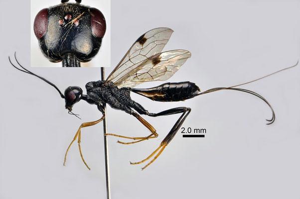 Pristaulacus boninensis Konishi, 1989 オガサワラセダカヤセバチ ♀ [det. Kyohei WATANABE]